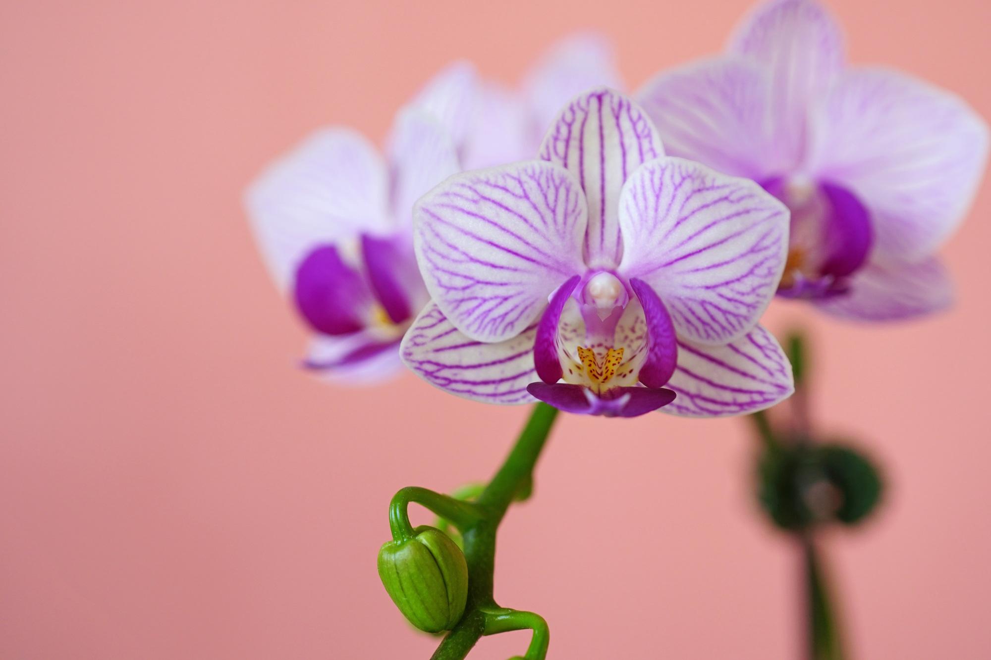 【お祝い事別】胡蝶蘭を贈る際の相場について