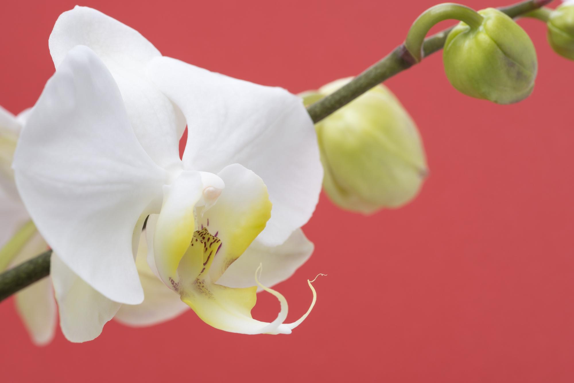 胡蝶蘭をお祝いで贈る際のマナーは?どんなシーンで贈ってもいいの?