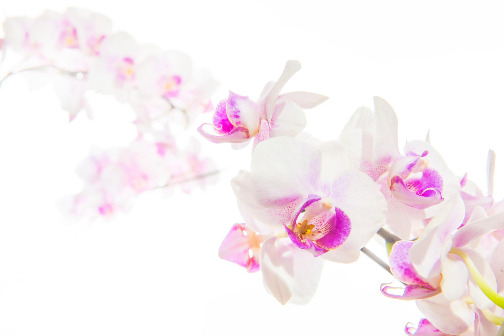 胡蝶蘭をお祝いで贈る場合、どんな色を選べばいいの?